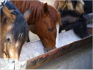 L'alimentation du cheval