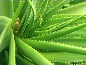 Propriétés phytothérapiques de l'aloé vera