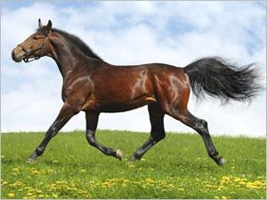 Le traitement de l'arthrose chez le cheval