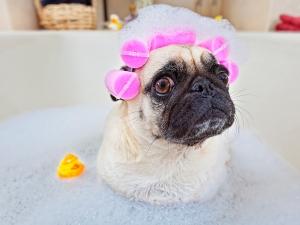 Toilettage chien : étapes du bain