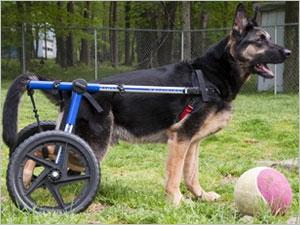 un chariot orthop dique pour chien pharmacien giphar. Black Bedroom Furniture Sets. Home Design Ideas