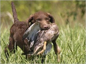 L'entrainement et la santé du chien de chasse