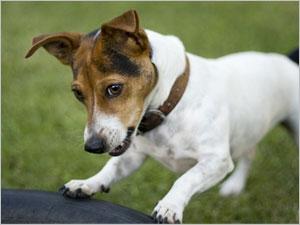 Les aboiements incessants du chien