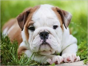 Le syndrome obstructif des chiens brachycéphales