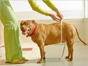 L'augmentation de la masse abdominale chez le chien