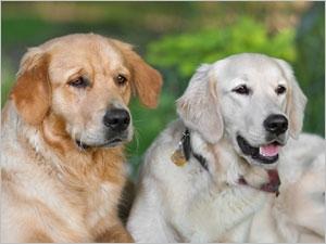 Les risques de la stérilisation précoce chez le chien