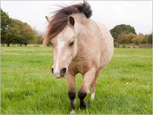 Le cheval fourbu