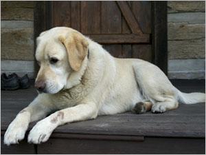 gale sur un chien