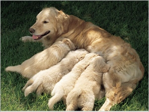Suivre la gestation de la chienne et surveiller la mise bas