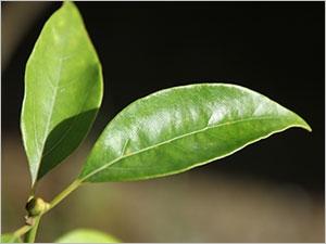 Les vertus de l'huile essentielle de ravintsara