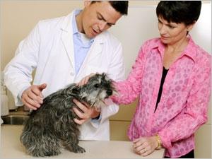 Les symptômes et les traitements du prolapsus des organes génitaux chez la chienne