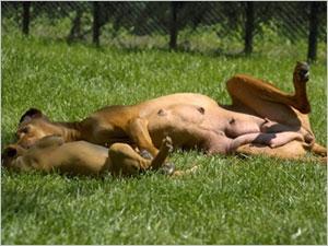 Les symptômes et les traitements des tumeurs mammaires chez la chienne