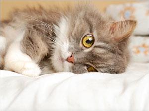 L'urémie élevée chez le chat