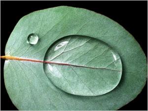 Les propriétés de l'eucalyptus