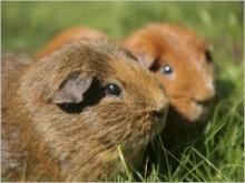 Comment se passe la gestation chez le cochon d'inde ?