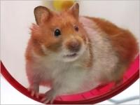 Soins et entretien du hamster