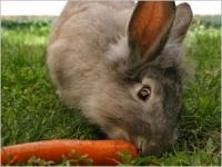 Les maladies digestives du lapin