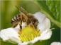 L'utilisation restreinte de 3 pesticides pour préserver les abeilles