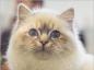 Les allergies du chat et leurs traitements