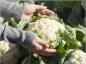 L'apport nutritionnel du chou-fleur