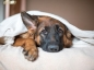Les moyens de contraception chez la chienne