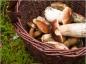 Prudence en cueillant les champignons