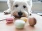L'intoxication au chocolat chez le chien