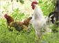 Prévenir l'influenza aviaire chez les volailles