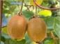 L'apport nutritionnel du kiwi