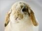 Le traiment de la myxomatose du lapin