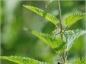 Comment soigner les piqûres d'orties ?