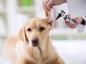 L'othématome chez le chien