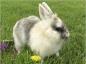Le traitement de la pasteurellose du lapin