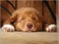 Prévention de la piroplasmose chez le chien