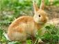 L'urolithiase chez le lapin