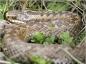 Les vipères vivant en France