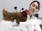 Le virus H7N9 chez les volailles