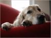 Les symptômes de la vieillesse chez le chien